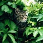 Foto von einer Katze in der Hecke