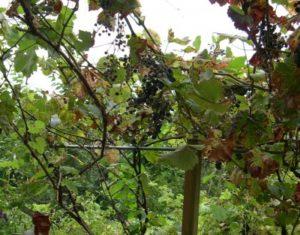 Foto von einem Weinberg