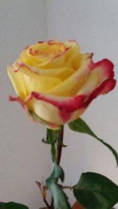 Foto von einer gelben Rose