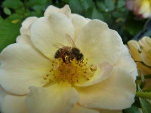 Foto einer Blüte mit Biene