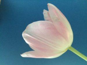 Foto einer rosa Blüte