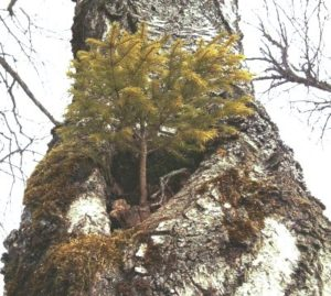 Foto:Baumstumpf mit kleiner Kiefer